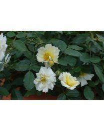 Rosa s. Drift Ivory