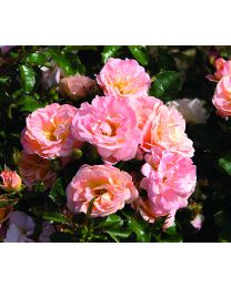 Rosa s. Drift Peach