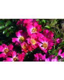 Rosa s. Drift Pink