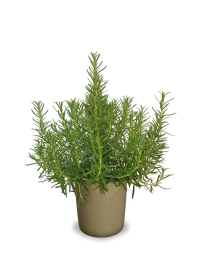 Rosmarinus officinalis 'Hishtil Perigord'