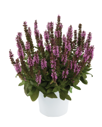 Salvia Jumbo Pink