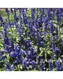 Salvia Rhea Blue 264 szt