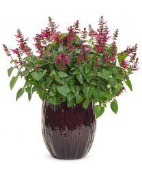 Salvia Rockin Fuchsia