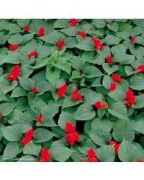 Salvia Vista Red 264 szt