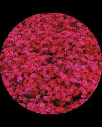 Phlox Subulata Scarlet Flame