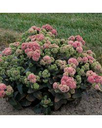 Sedum Rock N Grow Coraljade