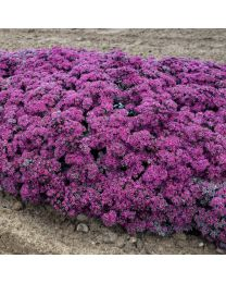 Sedum Superstar