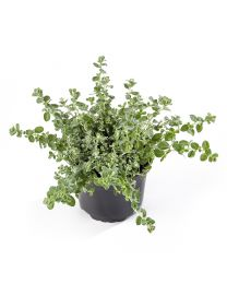 Helichrysum Silver Mini