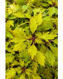 Coleus Royale Pineapple Brandy™
