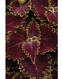 Coleus Wicked Witch™