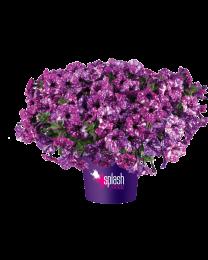 Petunia Splash Dance Purple Polka