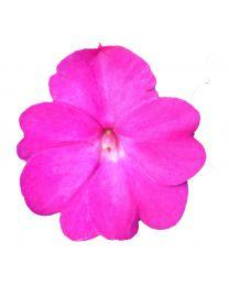 Sunpatiens Compact Hot Pink