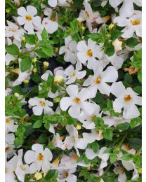 Bacopa Sutera Everest White Yeti