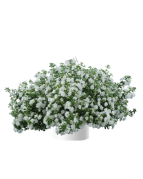 Bacopa Sutera SCOPIA DOUBLE Snowball