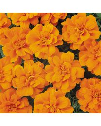 Tagetes Durango Tangerine Orange 153 szt