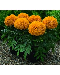 Tagetes Antigua s.Antigua Orange 264 szt