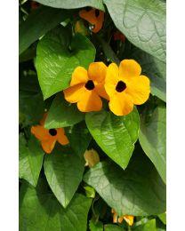 Thunbergia Orange