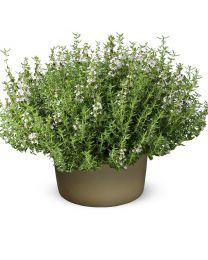Thymus vulgaris  Compactus