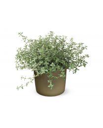 Thymus Herba-barona 'GrowFlowTM