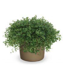 Thymus Citriodorus 'Prostrate'