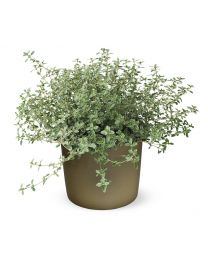Thymus citriodorus silver king