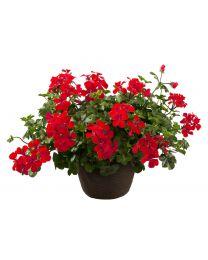 Pelargonia Allegria Single Red
