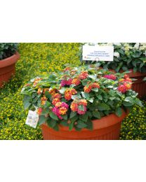 Lantana Calippo Bushy Orange Magenta
