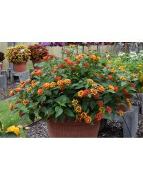 Lantana Calippo Bushy Red