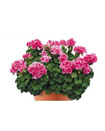 Pelargonia Conte Rose Splash