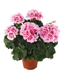 Pelargonia Conte White Splash