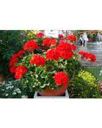 Pelargonia Dolomites Classic Red