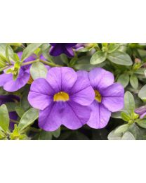 Superbells Unique Blue Violet SS