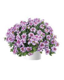 Verbena Vanessa Bicolor Purple