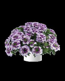 Verbena Vanessa compact Bicolor Purple