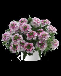 Verbena Vanessa compact Bicolor Rose