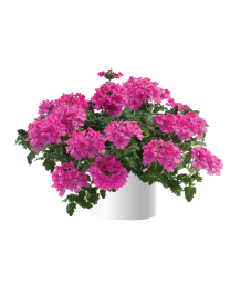 Verbena Vanessa compact Deep Pink