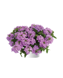 Verbena Vanessa compact Lavender
