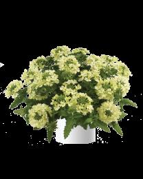 Verbena Vanessa compact Lime