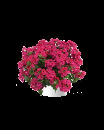 Verbena Vanessa compact Neon Pink