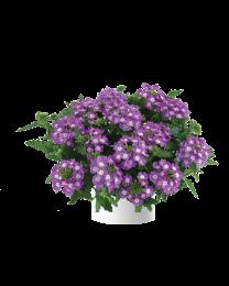 Verbena Vanessa compact Optik Lavender