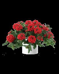 Verbena Vanessa compact Red