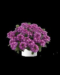 Verbena Vanessa compact Violet
