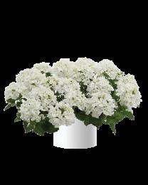 Verbena Vanessa compact White