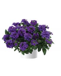 Verbena Vanessa Purple