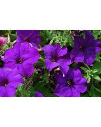 Petunia Veranda Dark Blue 2022 SS