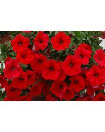 Petunia Veranda Scarlet SS