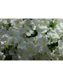 Petunia Veranda White 2022 SS