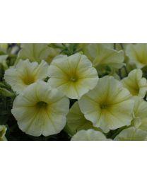 Petunia Veranda Yellow 2022 SS