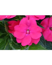 Sunpatiens Vigorous Rose Pink