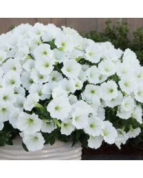 Supertunia VISTA Snowdrift